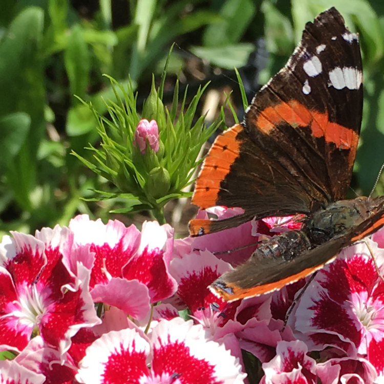 Vlinder op duizendschoon